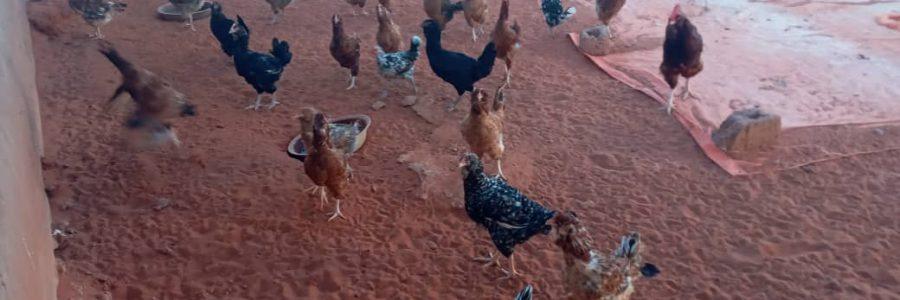 Chicken Farming in Har Har